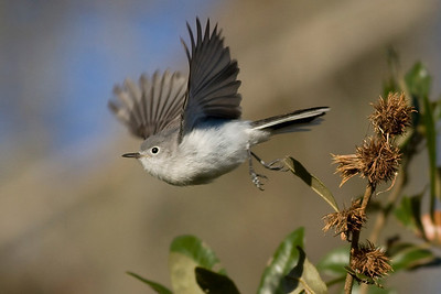 Blue-gray Gnatcatcher IMG_9772 rev 1