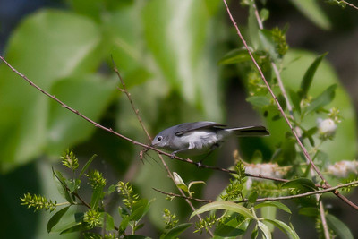 Blue-gray Gnatcatcher IMG_0480