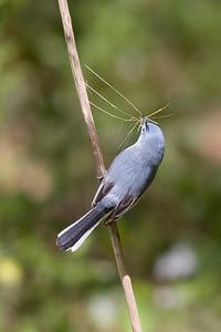Blue-grey Gnatcatcher IMG_9448 rev 1