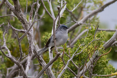 Blue-gray Gnatcatcher IMG_5878