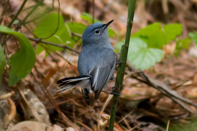 Blue-Gray Gnatcatcher IMG_2167
