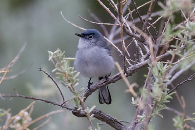 Blue-gray Gnatcatcher IMG_5871