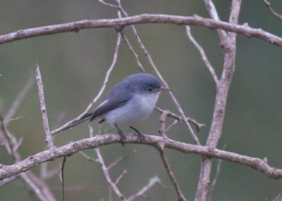 Blue-gray Gnatcatcher IMG_7598