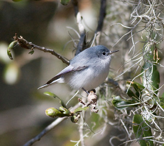 Blue-gray Gnatcatcher IMG_1361  rev 1