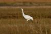 Whooping Crane IMG_6785
