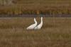 Whooping Cranes IMG_6775