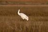 Whooping Crane IMG_6791