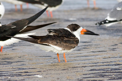 Black Skimmer IMG_1639  rev 1