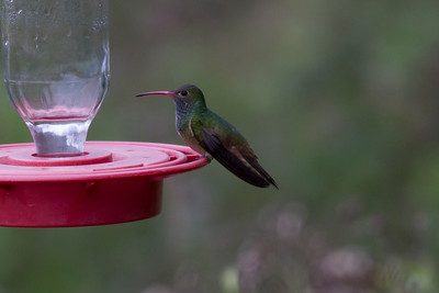 Buff-bellied Hummingbird IMG_7469