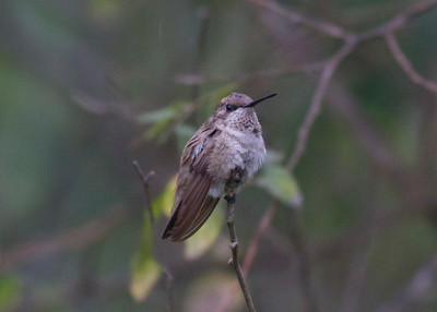 Black-chinned Hummingbird IMG_7554
