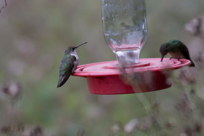 Black-chinned Hummingbird IMG_7465