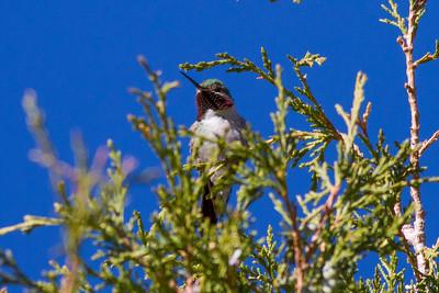 Broad-tailed Hummingbird IMG_6082