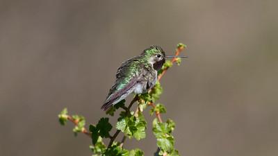 Broad-tailed Hummingbird IMG_6093