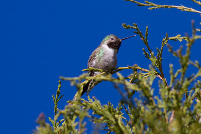 Broad-tailed Hummingbird IMG_6084