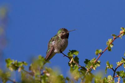 Broad-tailed Hummingbird IMG_6558