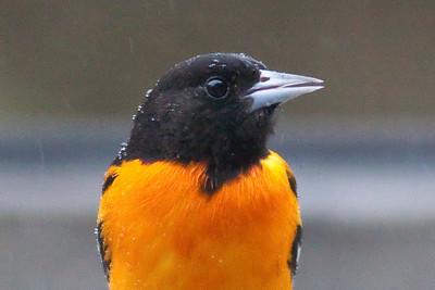 Baltimore Oriole IMG_5269 rev 1