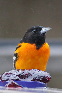Baltimore Oriole IMG_5266 rev 1