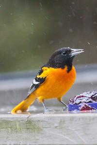 Baltimore Oriole IMG_5283 rev 1