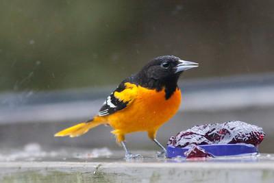 Baltimore Oriole IMG_5277 rev 1