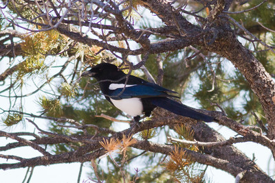 Black-billed Magpie IMG_1874