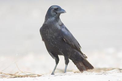 American Crow IMG_7629 rev 1