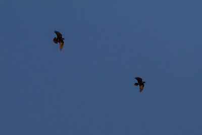 Common Ravens IMG_1986