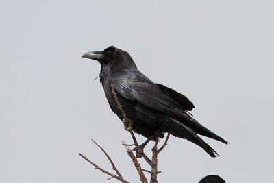 Common Raven IMG_1825