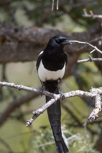 Black-billed Magpie IMG_4842
