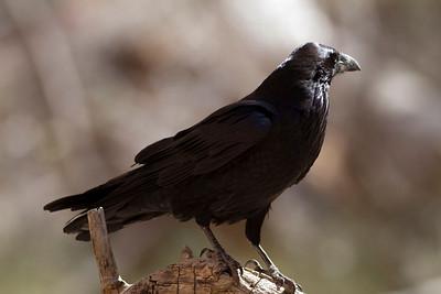 Common Raven IMG_1338