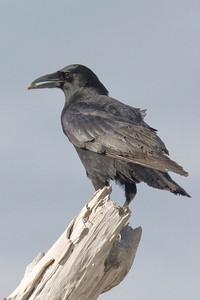 American Crow IMG_7624 copy