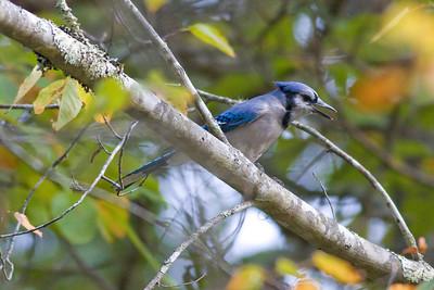 Blue Jay IMG_6977 rev 1