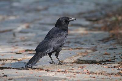 American Crow IMG_2813