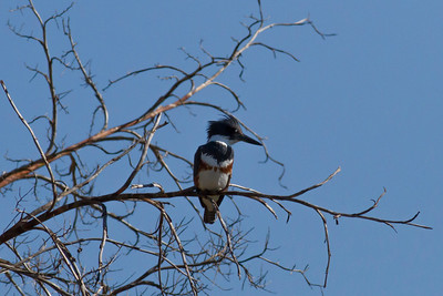 Belted Kingfisher IMG_7705