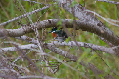Green Kingfisher IMG_7284