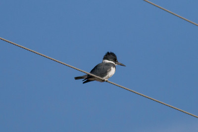 Belted Kingfisher IMG_9107