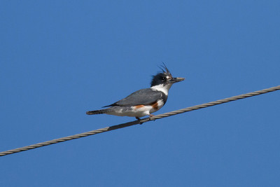 Belted Kingfisher IMG_1182