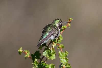 Broad-tailed Hummingbird IMG_6091