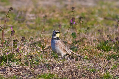 Horned Lark (male) IMG_9741 rev 1