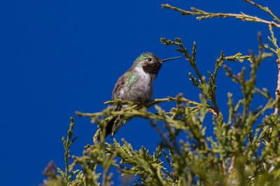 Broad-tailed Hummingbird IMG_6088