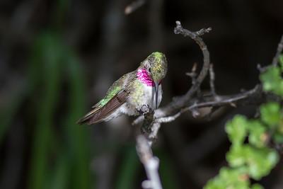 Broad-tailed  Hummingbird IMG_6194