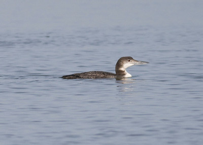 Common Loon IMG_1545  rev 2