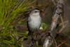 Nothern Mockingbird  IMG_5084