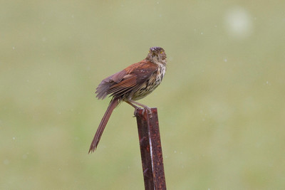 Brown Thrasher IMG_0980 rev 1
