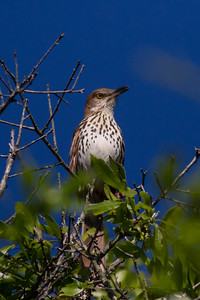 Brown Thrasher IMG_2651