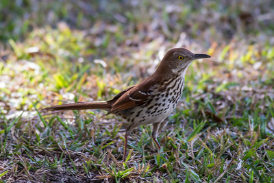 Brown Thrasher IMG_2648