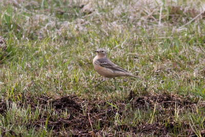 American Pipit IMG_6497