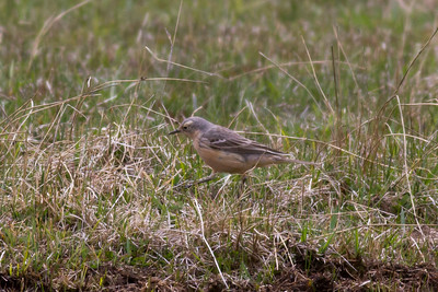 American Pipit IMG_6500