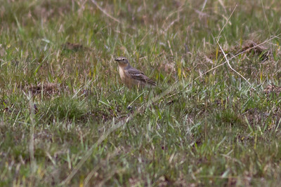 American Pipit IMG_6502