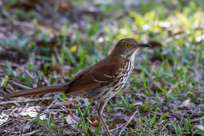 Brown Thrasher IMG_2647