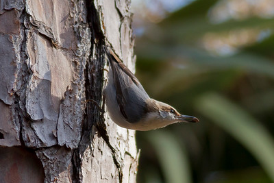Brown-headed Nuthatch IMG_4649